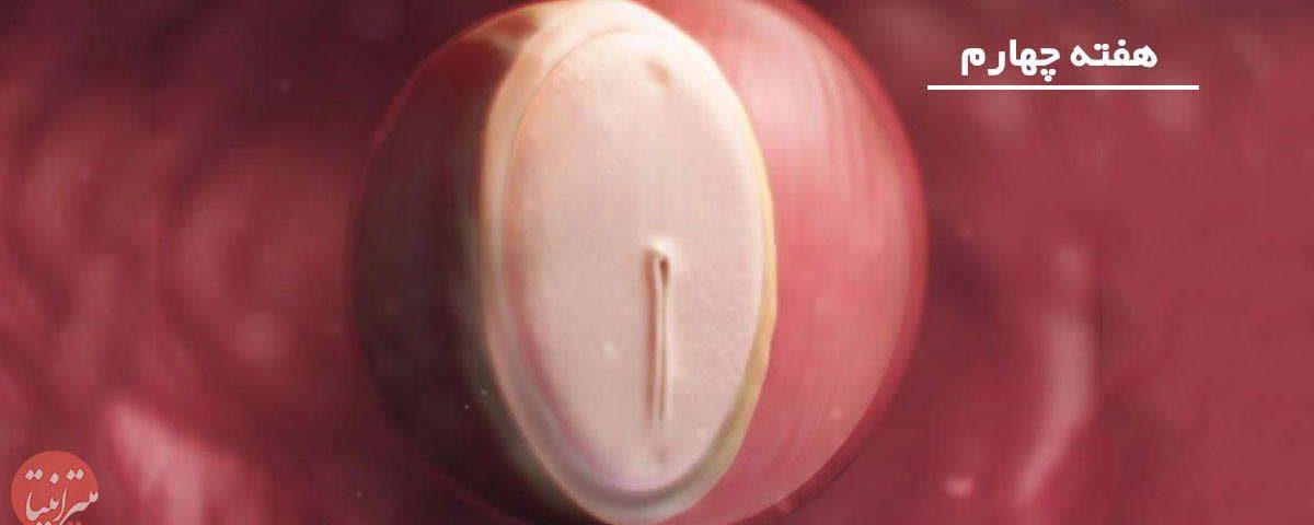 بارداری: هفته چهارم - میترانیتا
