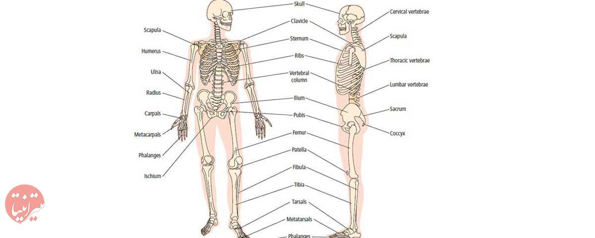 انواع استخوانهای بدن انسان - میترانیتا
